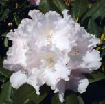 Hochstamm Rhododendron Silberwolke 60-80cm - Alpenrose - Vorschau