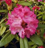 Rhododendron Sneezy 40-50cm - Alpenrose - Vorschau
