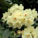 Rhododendron Vollmond 30-40cm - Alpenrose - Vorschau