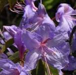 Wild - Rhododendron Aquamarin 30-40cm - Rhododendron augustinii