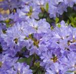 Wild - Rhododendron Russautinii 40-50cm - Rhododendron augustinii - Vorschau