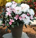 Rhododendron Hydon Velvet 25-30cm - Rhododendron bureavii
