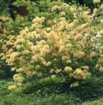 Zwerg Rhododendron Yellow Hammer 25-30cm - Rhododendron flavidium - Vorschau