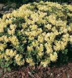 Zwerg Rhododendron Princess Anne 25-30cm - Zwerg Alpenrose - Vorschau