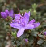 Zwerg Rhododendron Blue Silver 20-25cm - Rhododendron hippophaeoides - Zwerg Alpenrose