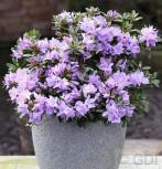 Zwerg Rhododendron Blaue Mauritius 20-25cm - Rhododendron impeditum - Zwerg Alpenrose
