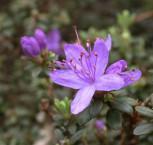 Zwerg Rhododendron Buchlovice 25-30cm - Rhododendron impeditum - Zwerg Alpenrose