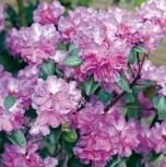 Zwerg Rhododendron P. J. Mezitt 50-60cm - Rhododendron impeditum - Zwerg Alpenrose - Vorschau