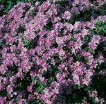 Zwerg Rhododendron Ramapo 20-25cm - Rhododendron impeditum - Zwerg Alpenrose