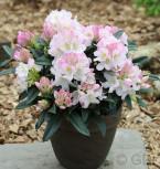 Ur-Wildform Rhododendron 25-30cm - Rhododendron insigne - Vorschau