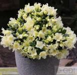 Zwerg Wild Alpenrose Patty Bee 25-30cm - Rhododendron keiskei - Vorschau