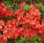 Azalee Balzac 30-40cm - Rhododendron luteum - Alpenrose - Vorschau