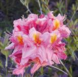 Azalee Berryrose 30-40cm - Rhododendron luteum - Alpenrose - Vorschau