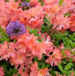 Azalee Cecile 25-30cm - Rhododendron luteum - Alpenrose - Vorschau