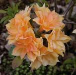 Azalee Csardas 30-40cm - Rhododendron luteum - Alpenrose - Vorschau