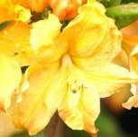 Azalee Golden Lights 30-40cm - Rhododendron luteum - Alpenrose - Vorschau