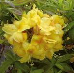 Azalee Golden Sunset 25-30cm - Rhododendron luteum - Alpenrose