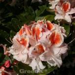 Azalee Jock Brydon 40-50cm - Rhododendron luteum - Alpenrose - Vorschau