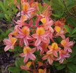 Azalee Josephine Klinger 30-40cm - Rhododendron luteum - Alpenrose
