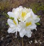 Azalee Persil 60-70cm - Rhododendron luteum - Alpenrose - Vorschau