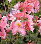 Azalee Raimunde 40-50cm - Rhododendron luteum - Alpenrose - Vorschau