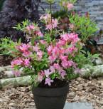 Azalee Rosata 25-30cm - Rhododendron luteum - Alpenrose - Vorschau