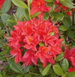Azalee Satan 40-50cm - Rhododendron luteum - Alpenrose - Vorschau