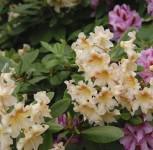 Azalee Silver Slipper 30-40cm - Rhododendron luteum - Alpenrose - Vorschau