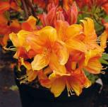 Azalee Sunny Boy 25-30cm - Rhododendron luteum - Alpenrose