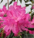 Rhododendron Boskoop Ostara 40-50cm - Rhododendron mucronatum - Vorschau