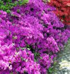 Japanische Azalee Blue Danube 30-40cm - Rhododendron obtusum - Zwerg Alpenrose - Vorschau