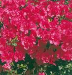 Japanische Azalee Canzonetta 15-20cm - Rhododendron obtusum - Zwerg Alpenrose
