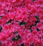Japanische Azalee Diamant Rosa 15-20cm - Rhododendron obtusum - Zwerg Alpenrose