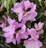 Japanische Azalee Diemel 20-25cm - Rhododendron obtusum - Zwerg Alpenrose