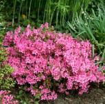 Japanische Azalee Georg Arends 40-50cm - Rhododendron obtusum - Zwerg Alpenrose