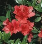 Japanische Azalee Juliette® 15-20cm - Rhododendron obtusum - Zwerg Alpenrose