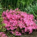 Japanische Azalee Karminko 15-20cm - Rhododendron obtusum Zwerg Alpenrose