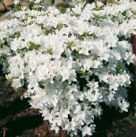 Japanische Azalee Kermesina Alba 25-30cm - Rhododendron obtusum - Zwerg Alpenrose - Vorschau