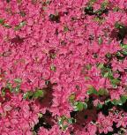Japanische Azalee Kermesina 20-25cm - Rhododendron obtusum - Zwerg Alpenrose - Vorschau
