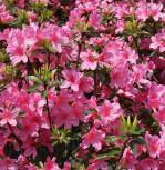Japanische Azalee Madame Albert v. Hecke 30-40cm - Rhododendron obtusum - Zwerg Alpenrose