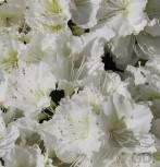 Japanische Azalee Maischnee® 25-30cm - Rhododendron obtusum - Zwerg Alpenrose - Vorschau
