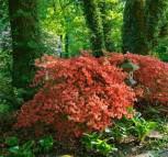Japanische Azalee Orange Beauty 30-40cm - Rhododendron luteum - Zwerg Alpenrose - Vorschau