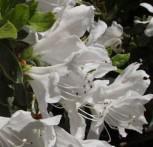 Japanische Azalee Pleasant White 30-40cm - Rhododendron obtusum - Zwerg Alpenrose - Vorschau