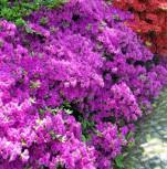 Japanische Azalee Schrammstein® 15-20cm - Rhododendron obtusum - Zwerg Alpenrose