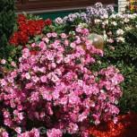 Japanische Azalee Sorpe 25-30cm - Rhododendron luteum - Zwerg Alpenrose