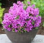 Duftkissen Zwerg Rhododendron 25-30cm - Rhododendron radicans - Vorschau