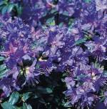 Zwerg Rhododendron Azurwolke 15-20cm - Rhododendron russatum - Zwerg Alpenrose - Vorschau