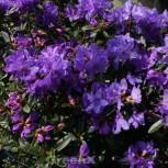 Zwerg Rhododendron Enziana 20-25cm - Rhododendron russatum - Zwerg Alpenrose - Vorschau