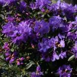 Zwerg Rhododendron Enziana 25-30cm - Rhododendron russatum - Zwerg Alpenrose