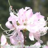 Wildform Rhododendron vaseyi 30-40cm - Vorschau